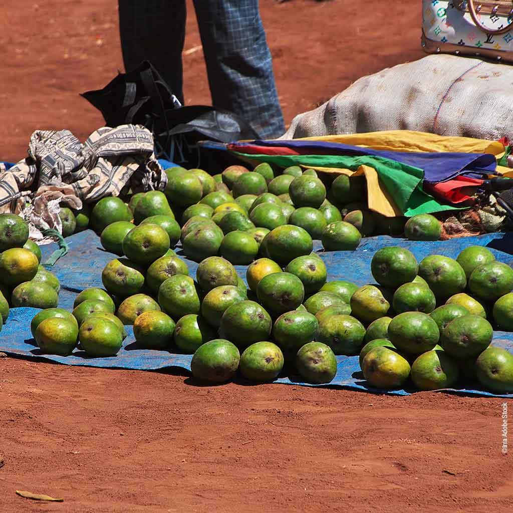 Mango-Ernte