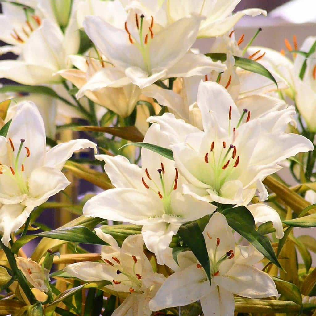 Weiße Lilien für Pater Franz Reinisch