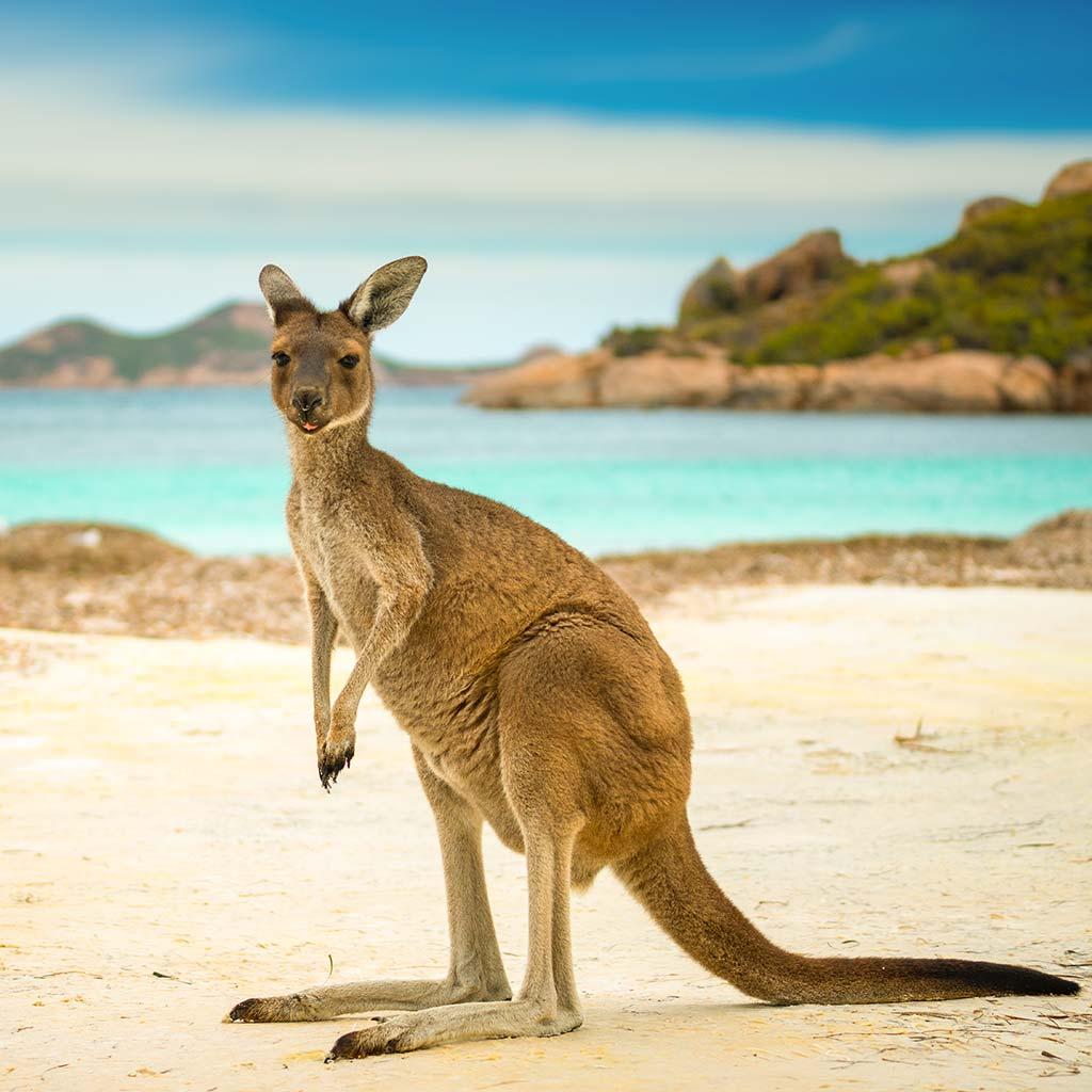Australisches Känguru