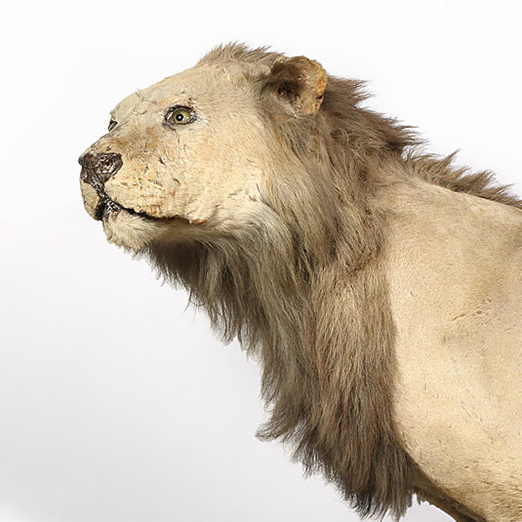 Limburger Löwe aus dem Missionsmuseum der Pallottiner