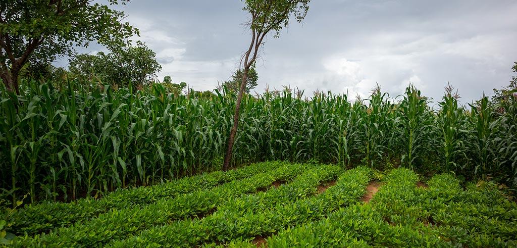 Die Regenzeit in Malawi bringt sattes Grün hervor
